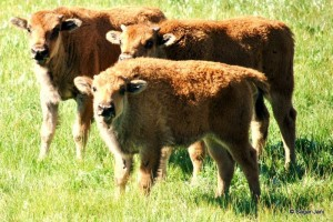 three siblings: bison calves