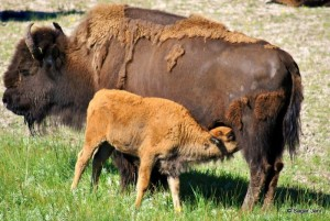 Lunchtime for bison calf