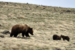 Grizzly mother and cubs peacefully grazing sage brush