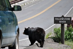 Yellowstone Black Bear: Time to cross the bridge