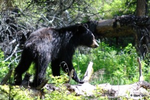 Young black bear walking on a fallen log